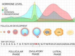 卵胞から卵子が排卵されるとその後、その卵胞は黄体に変化し、黄体ホルモンを分泌し、妊娠の環境を整え、着床をサポートする役割を持ちます。