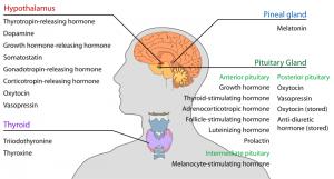 FSHは脳下垂体前葉から分泌されて血流に乗り、卵巣や精巣に作用するホルモンです。