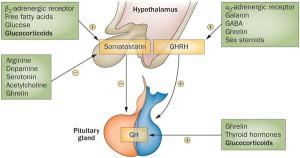 視床下部が下垂体前葉・後葉のホルモン分泌をコントロールしています。